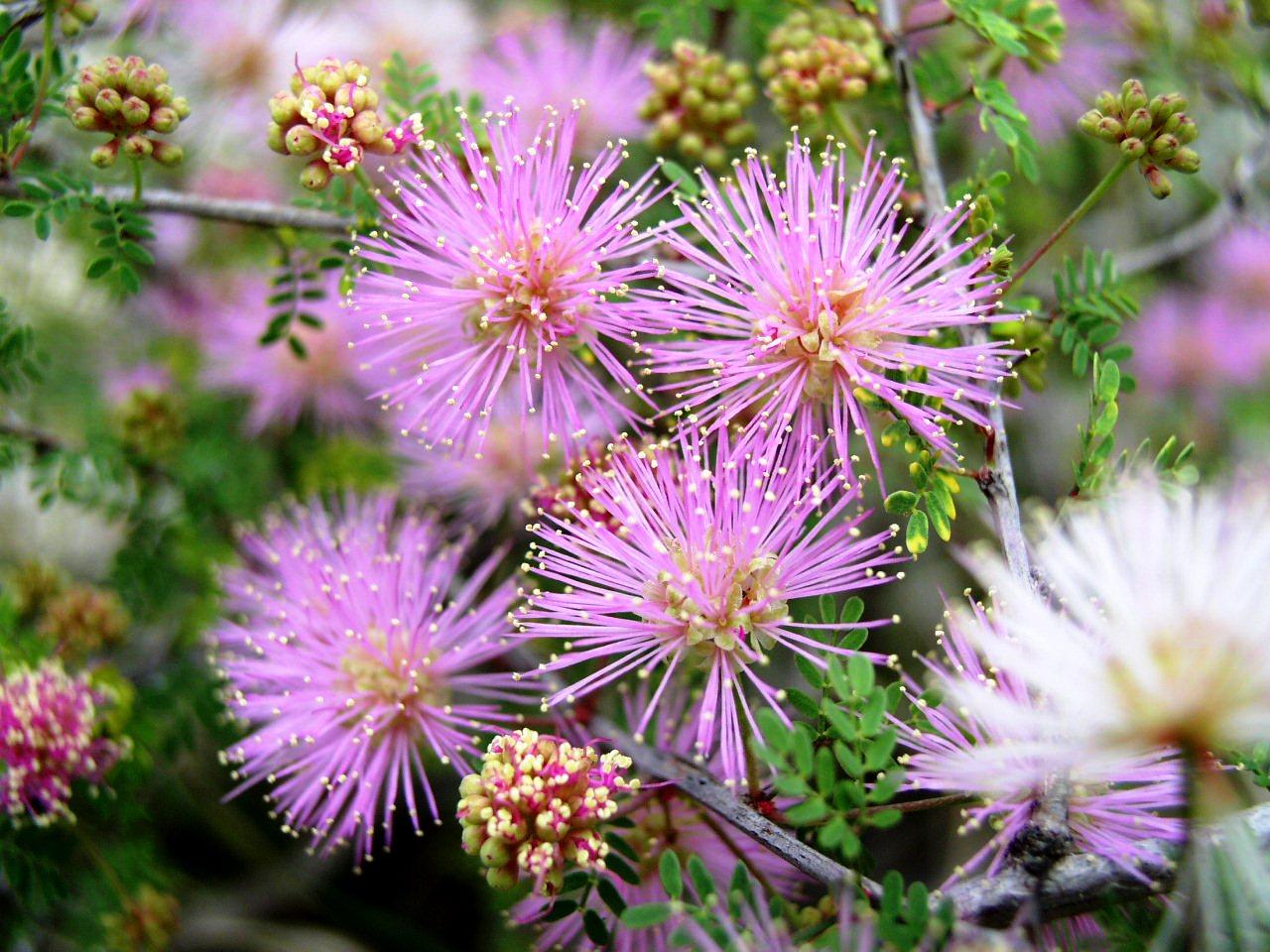 Mimosa borealis mightylinksfo