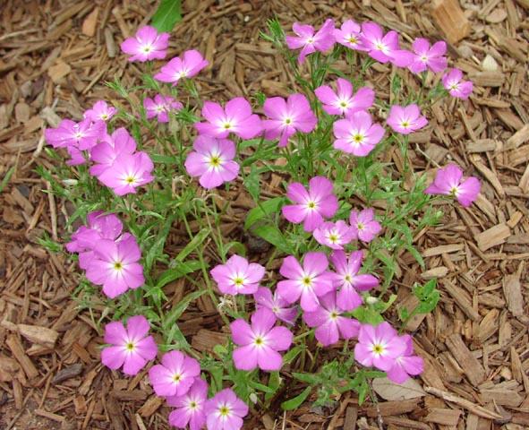 how to grow phlox from cuttings