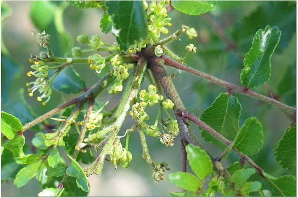 zanthoxylum hirsutum